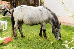 Pony zum reiten und streicheln